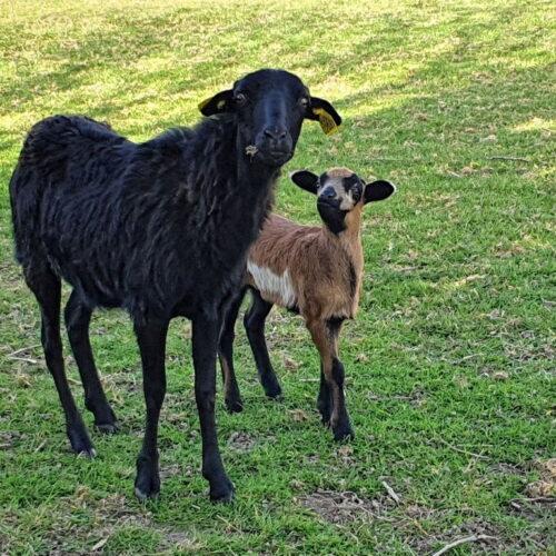 06b - Les Logis La Fontaine - Espace Vert - Les Moutons